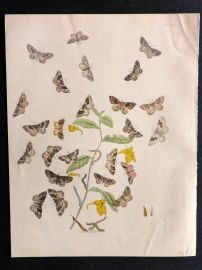 Humphreys & Westwood British Moths 1845 Hand Col Print 63